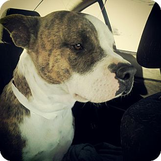 American Staffordshire Terrier Mix Dog for adoption in Scottsdale, Arizona - Bronson