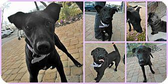 Labrador Retriever/Cattle Dog Mix Puppy for adoption in Scottsdale, Arizona - Peyton