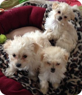 Maltese/Poodle (Miniature) Mix Puppy for adoption in Mission Viejo, California - MALTIPOO PUPPIES