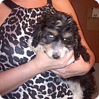 Adopt A Pet :: Puffins - Hazard, KY