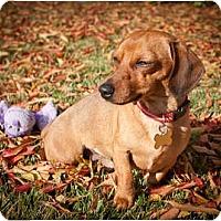 Adopt A Pet :: Augie - San Jose, CA