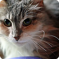 Domestic Longhair Cat for adoption in St. Louis, Missouri - Mini