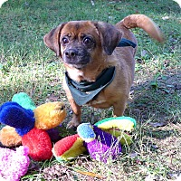Adopt A Pet :: Francissy - Mocksville, NC