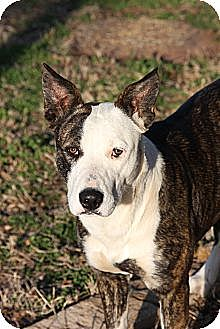 Blue Heeler/Staffordshire Bull Terrier Mix Dog for adoption in Tuscola, Texas - Bandit