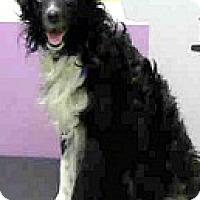 Adopt A Pet :: Choco-ADOPTION PENDING - Boulder, CO