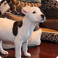 Adopt A Pet :: Sax - Los Angeles, CA