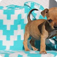 Adopt A Pet :: Serrano - 1 pound - Los Angeles, CA