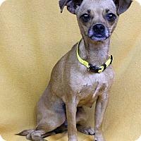 Adopt A Pet :: Tia - Westminster, CO