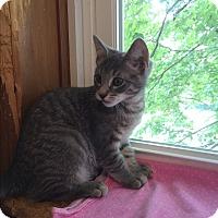 Domestic Shorthair Kitten for adoption in Middletown, New York - Jonny
