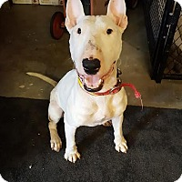 Bull Terrier Dog for adoption in Denver, Colorado - Patton