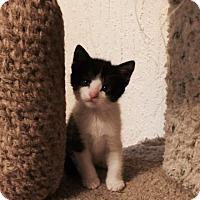 Adopt A Pet :: Pounce - Colorado Springs, CO