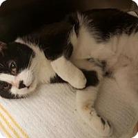Domestic Mediumhair Cat for adoption in Orlando, Florida - Samuel