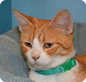 Domestic Shorthair Cat for adoption in Cincinnati, Ohio - Summer