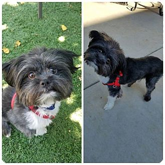 Shih Tzu/Terrier (Unknown Type, Small) Mix Puppy for adoption in Santa Clarita, California - Chance~Courtesy Listing