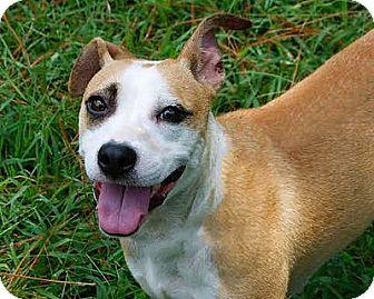 Pit Bull Terrier/Shepherd (Unknown Type) Mix Dog for adoption in Staunton, Virginia - Pandora