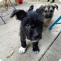 Terrier (Unknown Type, Small)/American Pit Bull Terrier Mix Puppy for adoption in Salem, Oregon - Penny