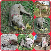 Weimaraner Dog for adoption in Davenport, Florida - ARI