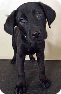 Labrador Retriever Mix Puppy for adoption in Hinsdale, Illinois - ADOPTED!!!   Noelle