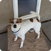 Jack Russell Terrier Mix Dog for adoption in Chandler, Arizona - BUDDY, Jack Russell