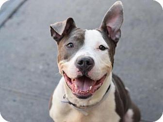 American Pit Bull Terrier Mix Dog for adoption in Brooklyn, New York - DIAMOND