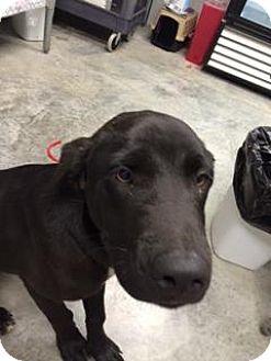Labrador Retriever Mix Dog for adoption in Paducah, Kentucky - Colton