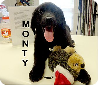 Labrador Retriever Mix Puppy for adoption in Ozark, Alabama - Monty
