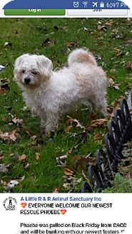 Maltese/Poodle (Miniature) Mix Dog for adoption in Elgin, Illinois - Phoebe