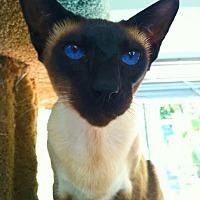 Adopt A Pet :: Bluie - Very Handsome Siamese! - El Cajon, CA