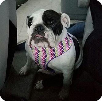 English Bulldog Dog for adoption in Hurst, Texas - Calie