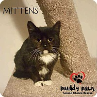 Adopt A Pet :: Mittens - Council Bluffs, IA
