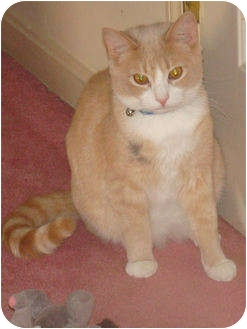 Domestic Shorthair Cat for adoption in Spotsylvania, Virginia - Buster