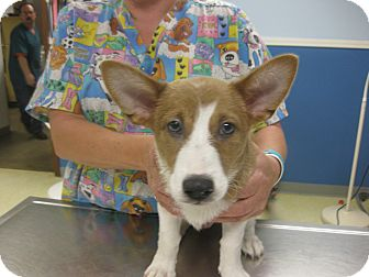 Welsh Corgi Mix Puppy for adoption in Inola, Oklahoma - Banner