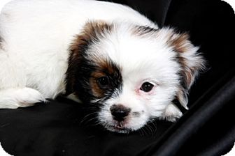 Havanese/Shih Tzu Mix Puppy for adoption in St. Louis, Missouri - Harry Hava Tzu