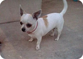 Chihuahua Dog for adoption in Van Nuys, California - PRINCESS PINKY