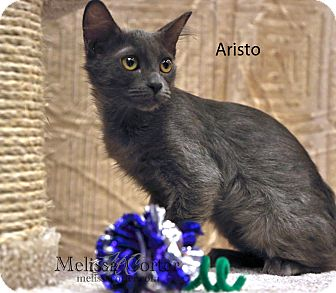 Russian Blue Cat for adoption in Phoenix, Arizona - Aristo