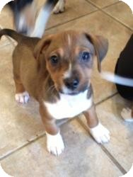Dachshund/Terrier (Unknown Type, Small) Mix Puppy for adoption in Marlton, New Jersey - Tiny Baby Gracie 4 lbs