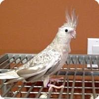 Adopt A Pet :: Pearl - Northbrook, IL
