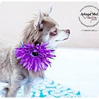 Adopt A Pet :: Tinker Bell - Shawnee Mission, KS