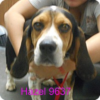 Adopt A Pet :: Hazel - baltimore, MD