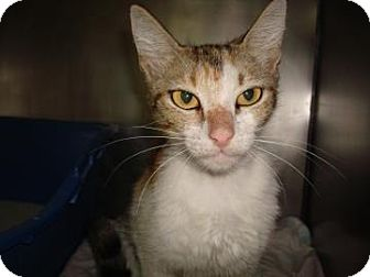 Domestic Shorthair Cat for adoption in Miami, Florida - Isis