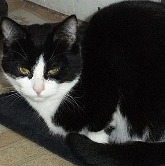 Domestic Shorthair Cat for adoption in Mississauga, Ontario, Ontario - Jules