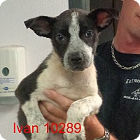 Adopt A Pet :: Ivan - baltimore, MD