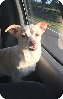 Chihuahua Mix Dog for adoption in Russellville, Kentucky - Zeus