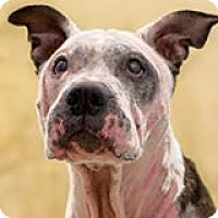 Pit Bull Terrier Mix Dog for adoption in New York, New York - Peaches