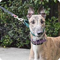 Adopt A Pet :: Bulldog - Walnut Creek, CA