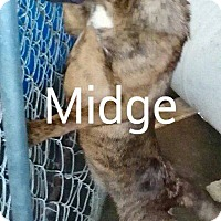 Adopt A Pet :: Midge - Burlington, VT
