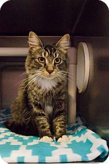 Domestic Mediumhair Cat for adoption in Huntsville, Alabama - 458471