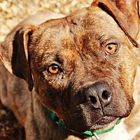 American Staffordshire Terrier Dog for adoption in Lapeer, Michigan - Schmitty
