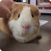 Adopt A Pet :: Snickerdoodle - Camden, DE