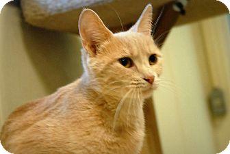 Domestic Shorthair Cat for adoption in Wilmington, Ohio - Macie